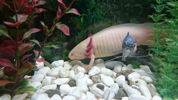 Домашняя живность Аксолотль, Рыба, Аквариум
