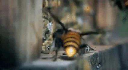 Пчелка тащит с поля боя своего друга, павшего в неравной схватке с шершнем