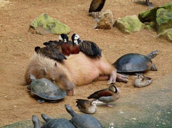 capybara wallpaper pool - photo #3