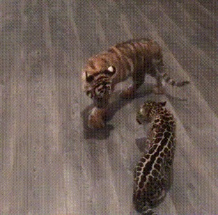 Встреча маленького ягуара и тигренка Ягуар, Тигр, Встреча, Гифка
