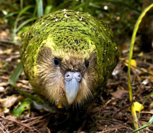 Меня зовут Какапо: уникальная птица, о которой, скорее всего, Вы не знали. мир, Природа, Животные, Интересное, птицы, какапо, добро, новая зеландия, длиннопост