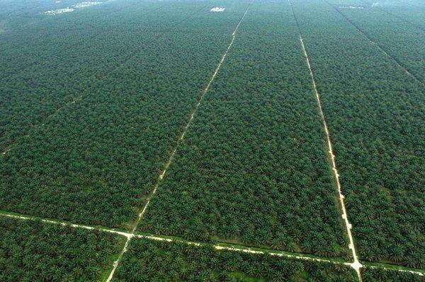 Плантации масличных пальм Экология, Пальмовое масло, Дерево, Плантация, Длиннопост