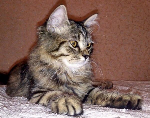 Помогите идентифицировать породу котея. Кот, Фото, Кошатники