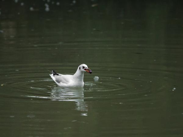 Чайки в дожде Фото, Птицы, Дождь, Длиннопост