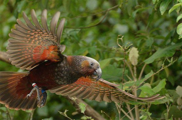 Кака - серый кардинал Новой Зеландии. Новая зеландия, Птицы, Мир, Природа, Интересное, Добро, Животные, Попугай, Видео, Длиннопост