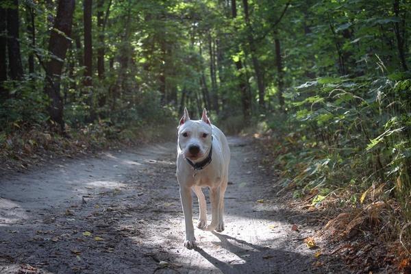 Лесные псы) Собака, Фенотип питбуля, Питбуль, Кане-Корсо, Животные, Длиннопост