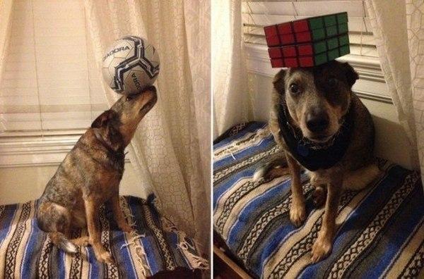 Талант Собака, Талант, Баланс