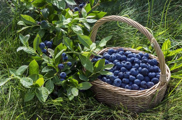 Люблю лесные ягоды!