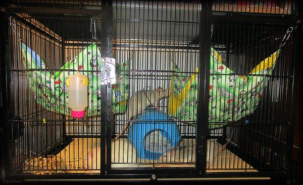 Одна из наших клеток под крыс. Моё, Крыса, Декоративные крысы, Крысиные клетки, Крысиные Хроники, Длиннопост, Содержание крыс, Полезное