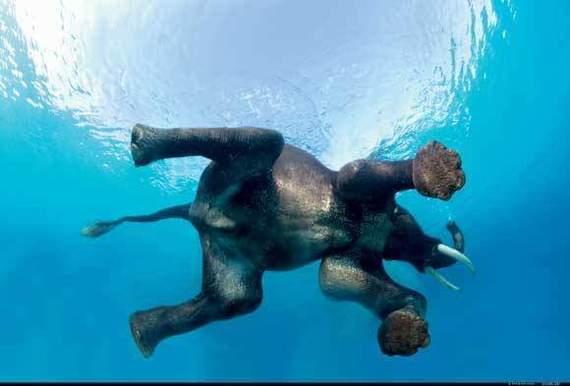 Плывущий слон, не знал что они плавают.