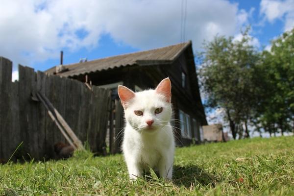 Вот вам деревенская кошка)