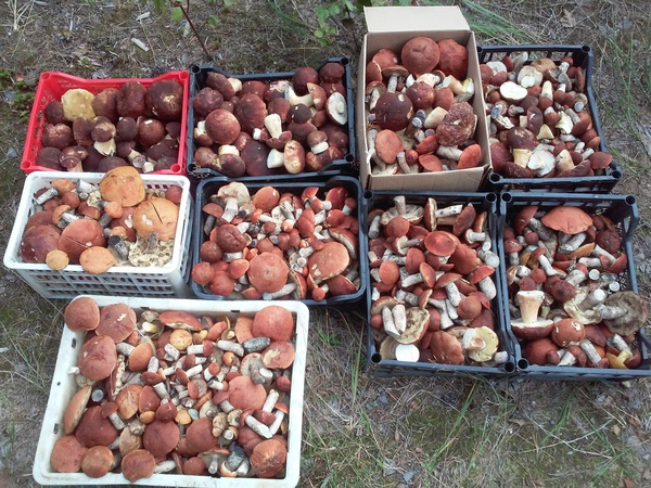 Вот такие вот грибочки! Грибы, Лес, Сибирь