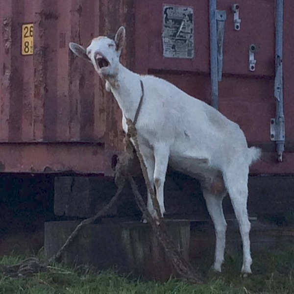 Коза увидела, что-то, грандиозное!