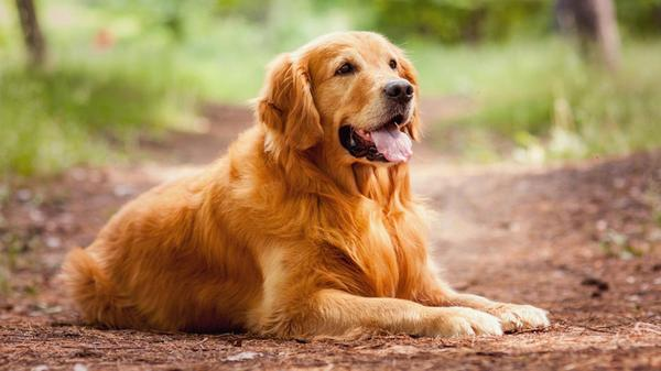 Лабрадор ретривер лабрадор, Собака, семья, длиннопост