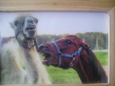 Отношения лошадей с другими животными лошадь, кони, верблюды, мул, лошак, осел, змея, лама, длиннопост