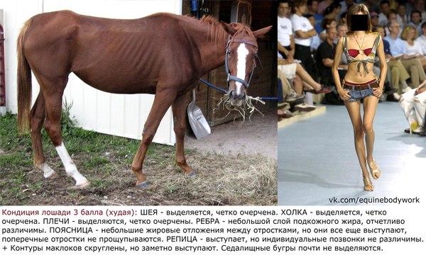 Оценка кондиции лошади лошадь, кондиция, истощение, лишний вес, Интересное, длиннопост