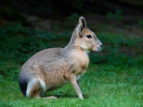 Эта комбинация хомяка, зайца и собаки выглядит очень бредово. мара, грызуны, хомяк, странности, длиннопост