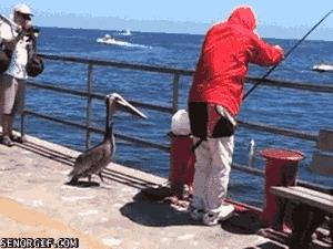 Пеликан-воришка