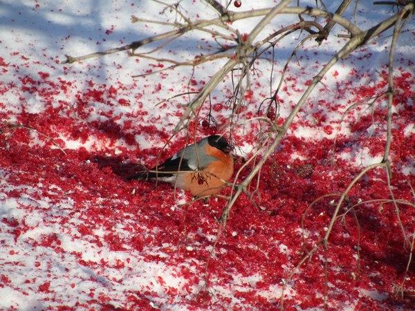 Кровавая резня снегирями Птицы, Зима, Снегирь, Снегири, Ягоды, Красный, Кровь