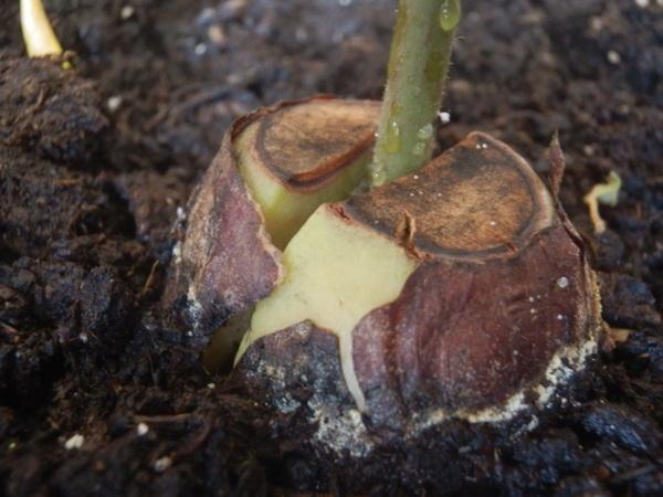 Аво-авокадо, аво-авокадо Косточка авокадо, Авокадо, Текст, Длиннопост, Агрономия, Реально вырастить