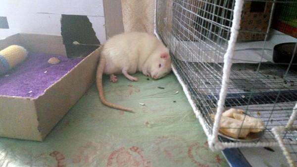 В тему о крысах Крысиные хроники, Декоративные крысы, Фото