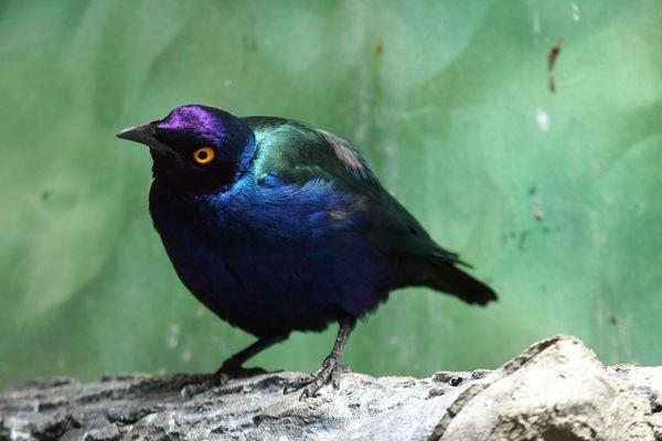 Пурпурный блестящий скворец Скворец, Птицы, Пурпурный, Глаза