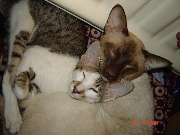 Егор: Переезд Кот, Ориентальные кошки, Сиам, Животные, Дружба