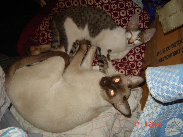 Егор: Друзья Ориентальные кошки, Сиам, Кот, Животные, Друзья, Длиннопост