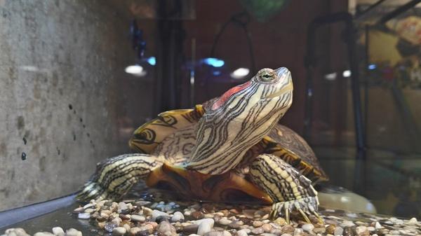 Отдам красноухую черепаху, Питер. Отдам, В добрые руки, Красноухая черепаха, Санкт-Петербург, Заберите ради бога, Заберите, Длиннопост