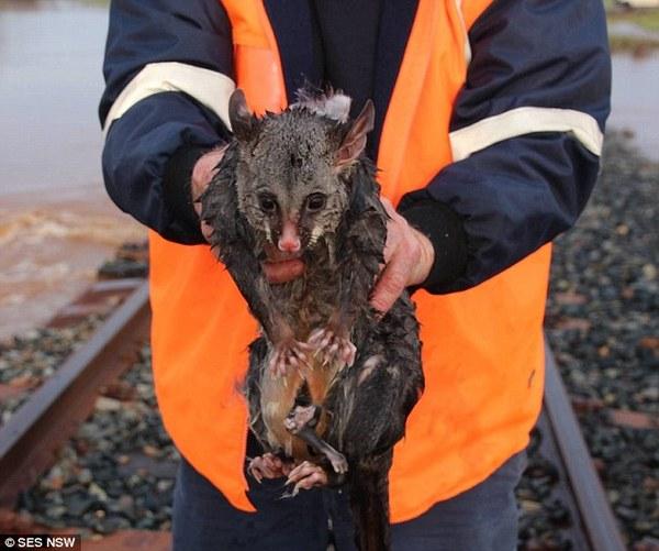 Поссум, спасенный во время наводнения в Австралии