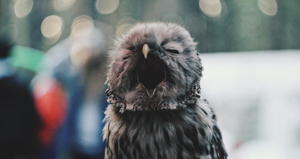 Просто совёнок. Просто зевает. Милота, Сон, Серая неясыть, Сова, Не котики