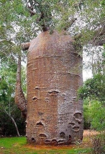 1000-летний баобаб