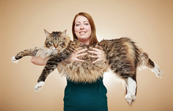 average domestic short hair cat size
