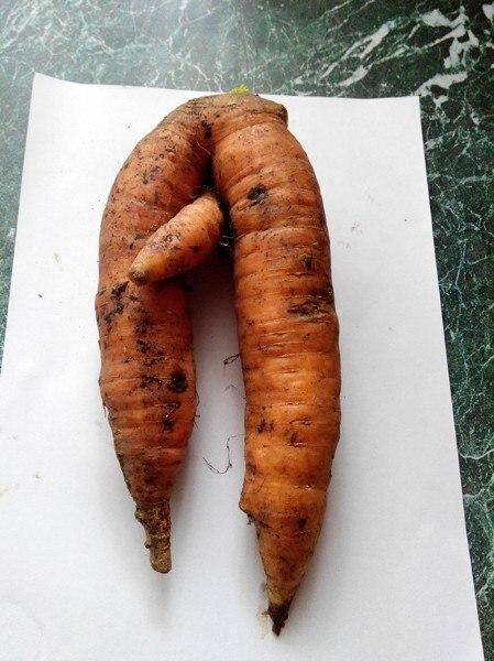 Кто хочет морковки?