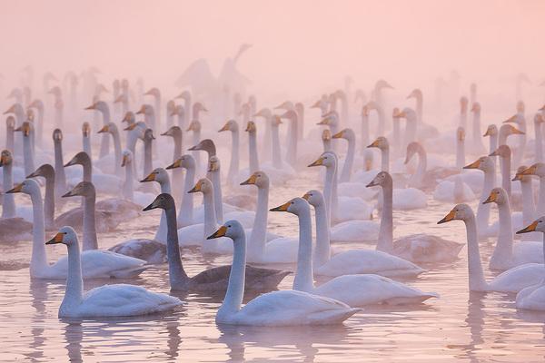 Вечерняя идиллия Лебеди, Зимовка, Алтай, Россия