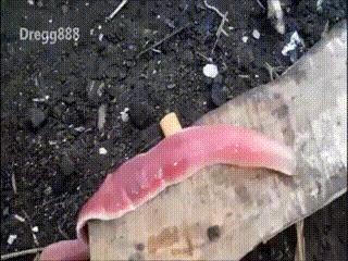 Гугл пишет что это ленточный червь