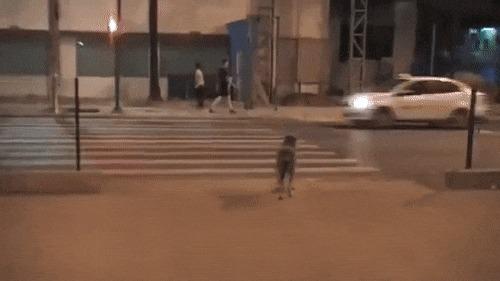 Собака оказалась умнее этих девушек Ум, Собака, Сообразительность, Девушки, Пешеходный переход, Зебра, Светофор, Переход, Гифка
