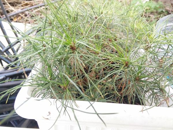 Посадка саженцев сосны в школку Сосна, Фото, Выращивание дома, Вырастить дерево - легко, Саженец, Длиннопост, Кот