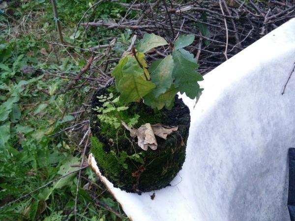 Посадка саженца дуба Дуб, Саженец, Вырастить дерево - легко, Выращивание дома, Посадка дуба, Садим дерево, Длиннопост