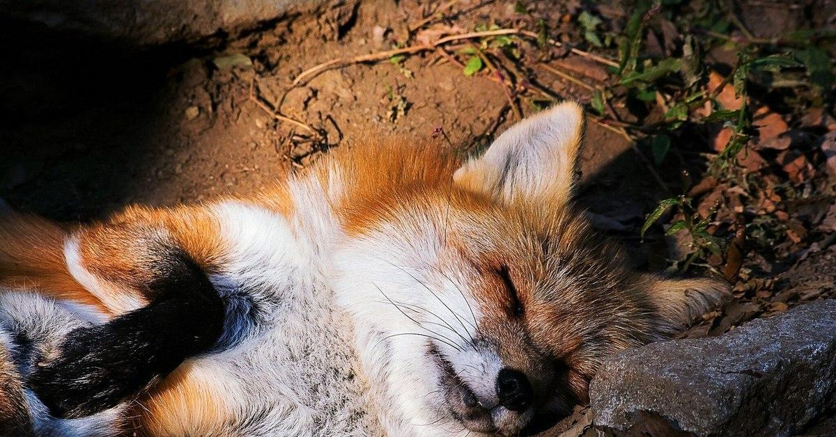 расчете лисы нежатся картинки далекой-далекой галактике