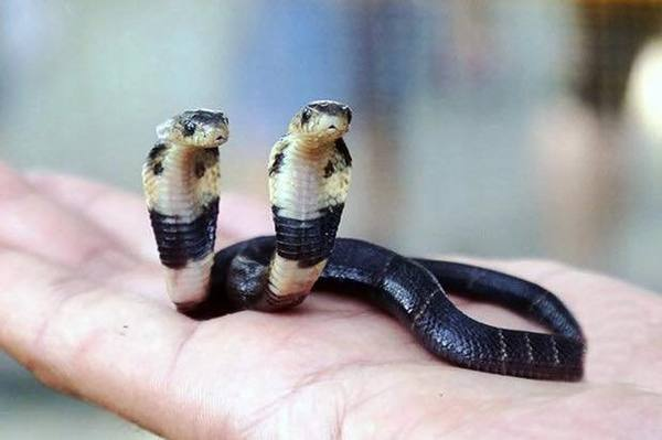 Двухголовая китайская кобра (Naja atra) Змея, Две головы, Мутант, Кобры, Ядовитые животные, Пресмыкающиеся, Животные