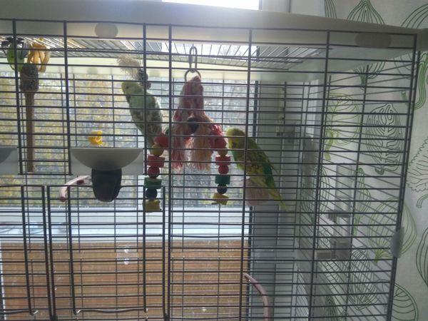 Отдам в хорошие руки двух волнистых попугаев. Отдам, В добрые руки, Попугай, Москва