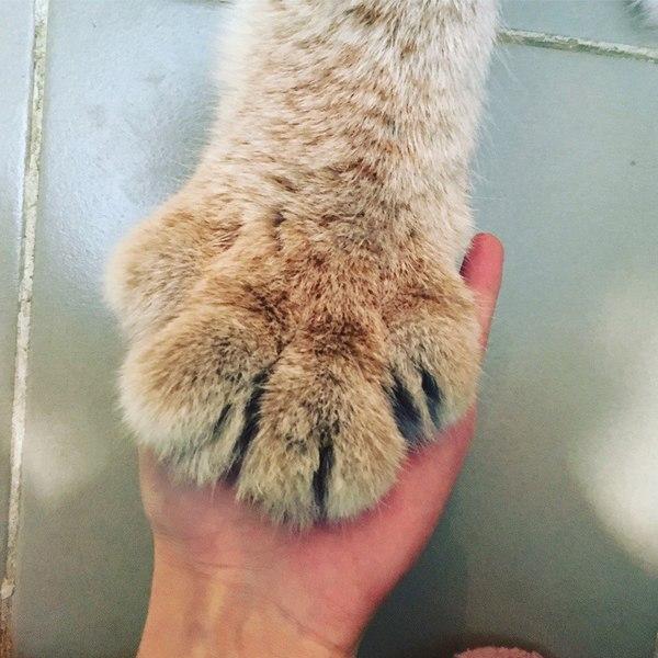 Лапка котёнка рыси рысь, Умка, BobCatTV