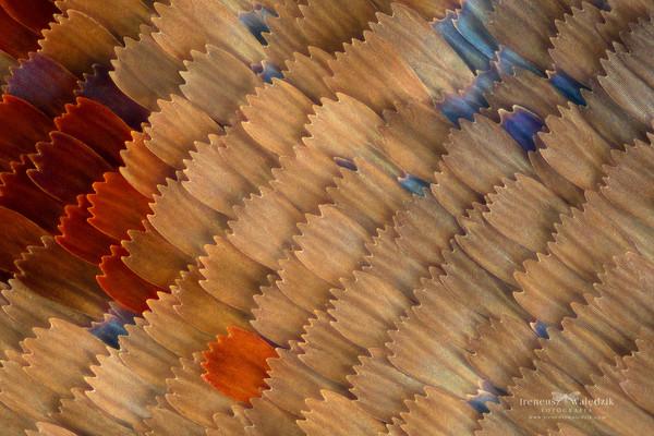 Чешуекрылые. Макро. Крылья, Макромир, Макросъемка, Бабочка, Инсектология