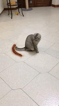 Кот и сороконожка