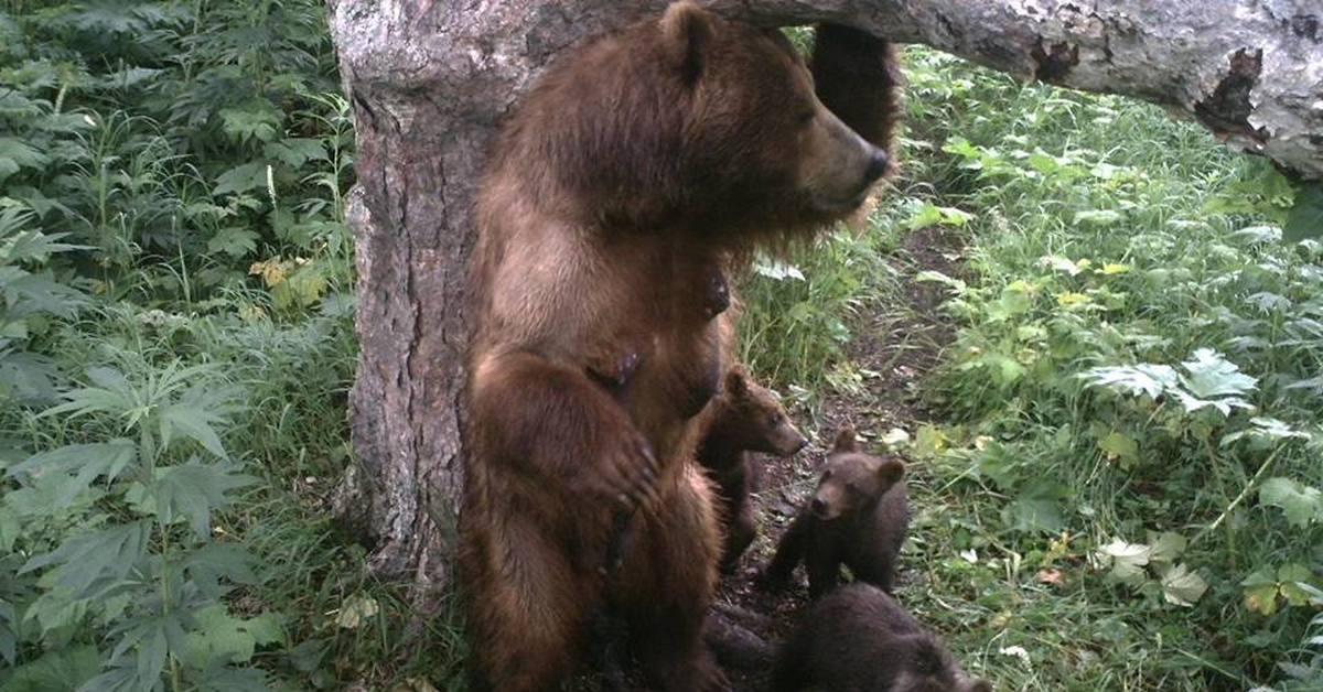 фото меток медведей на деревьях или гигрометр психометрический
