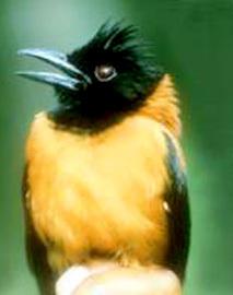 Хохлатые питохуи. Ядовитая птица Природа, Ядовитые животные, Экзотические животные