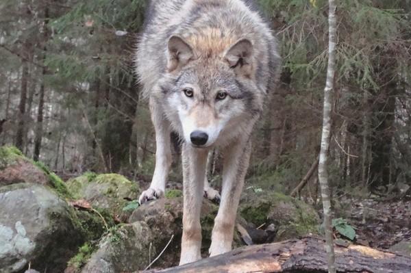 Грузинский зоолог два года изучал волков, живя в их стае Волк, Ясон Бадридзе, Интервью, Длиннопост