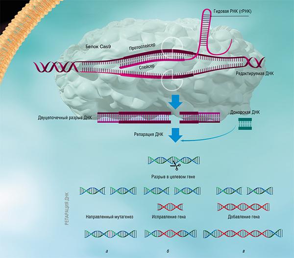 Метод редактирования генома CRISPR-Cas испытан на человеке Crispr-Cas9, Редактирование геномов, Клинические исследования, Длиннопост