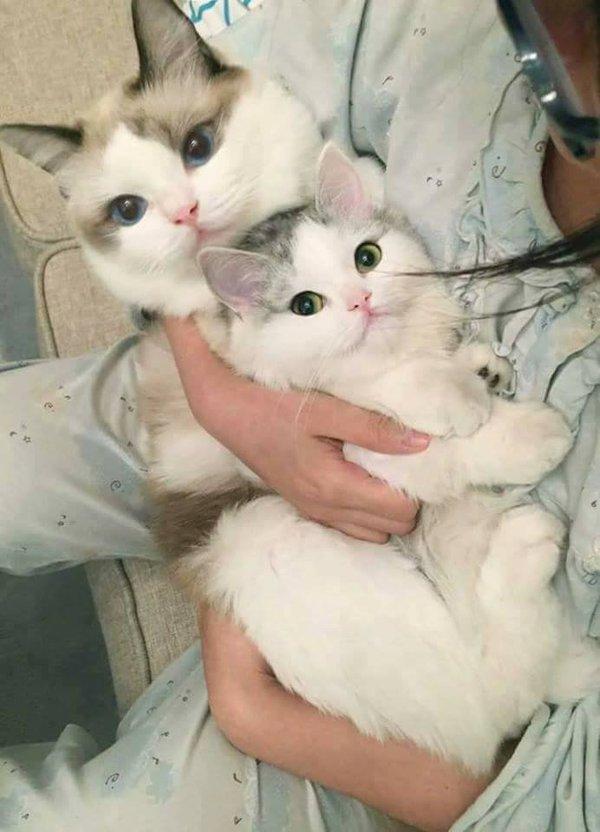 Охапка милоты. пикабу и котики, пушистый, кот, милота, животные, длиннопост